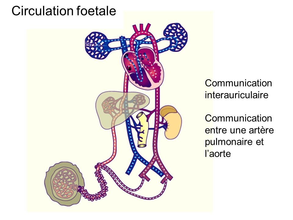 Circulation foetale Communication interauriculaire