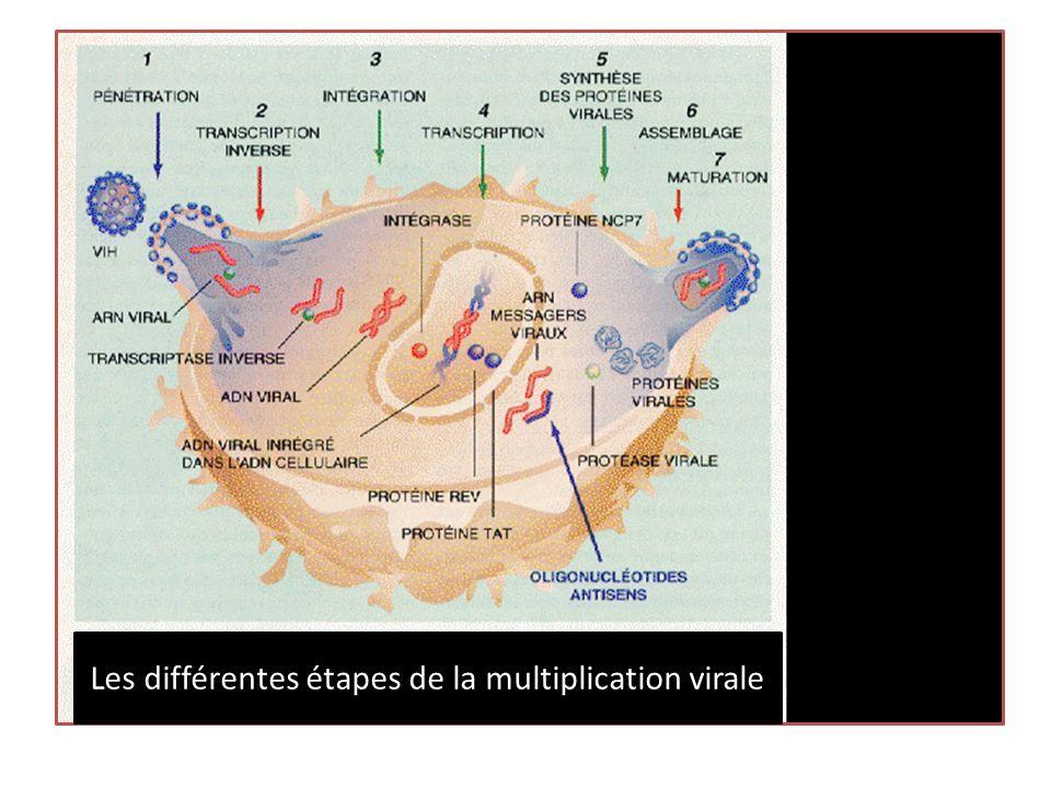 Les différentes étapes de la multiplication virale