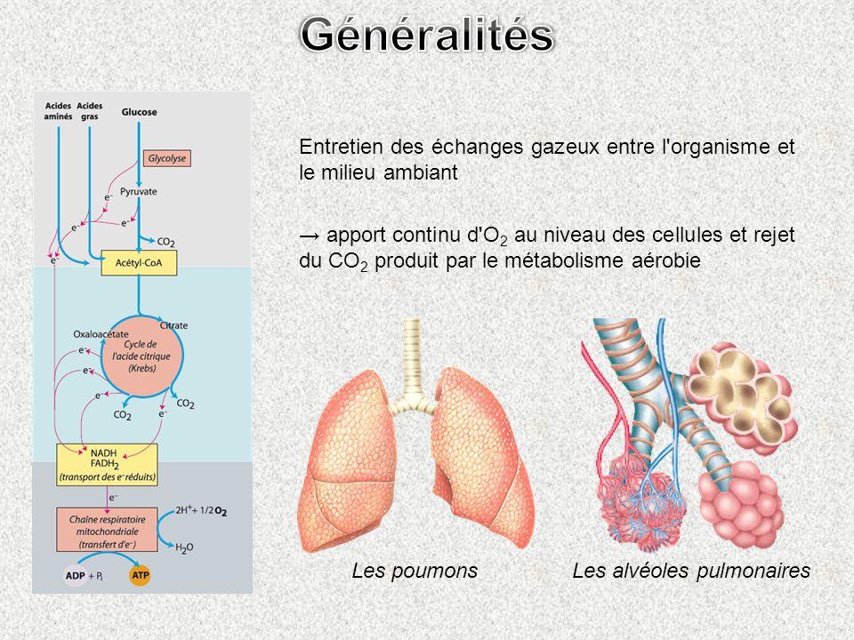 Généralités Entretien des échanges gazeux entre l organisme et le milieu ambiant.