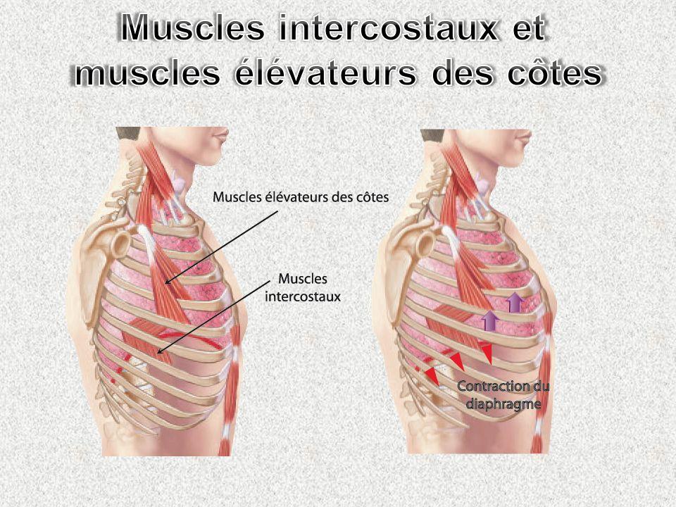 Muscles intercostaux et muscles élévateurs des côtes
