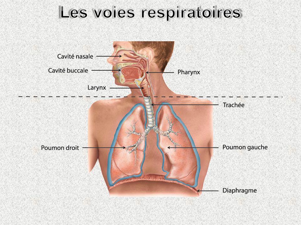 Les voies respiratoires