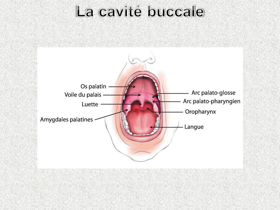 La cavité buccale