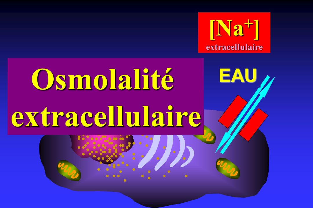 Osmolalité extracellulaire