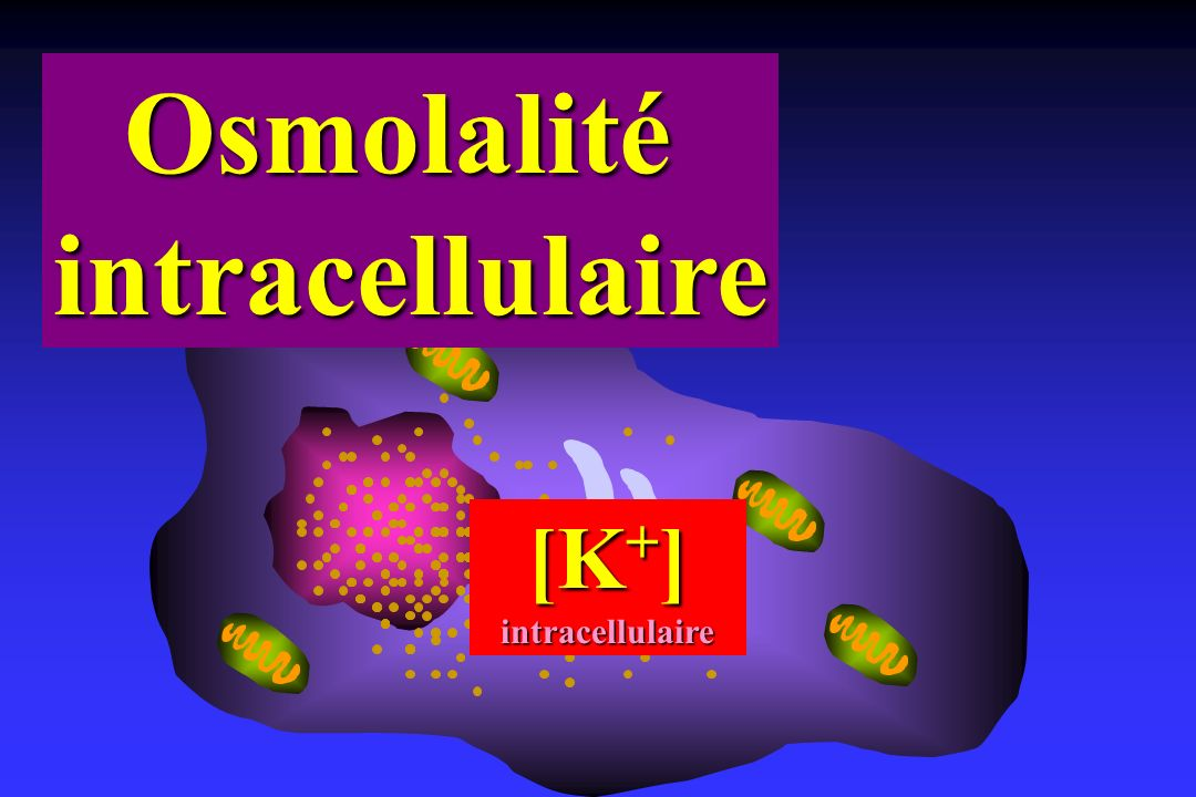 Osmolalité intracellulaire