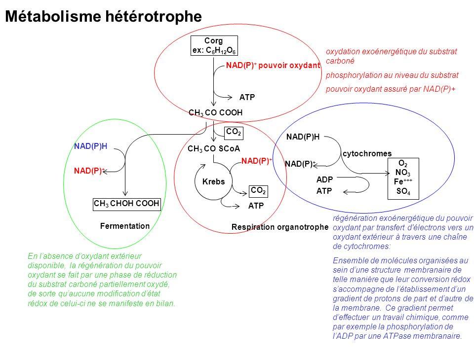 Métabolisme hétérotrophe