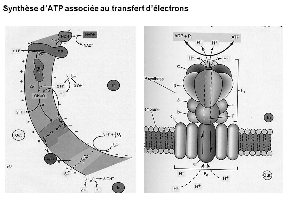 Synthèse d'ATP associée au transfert d'électrons