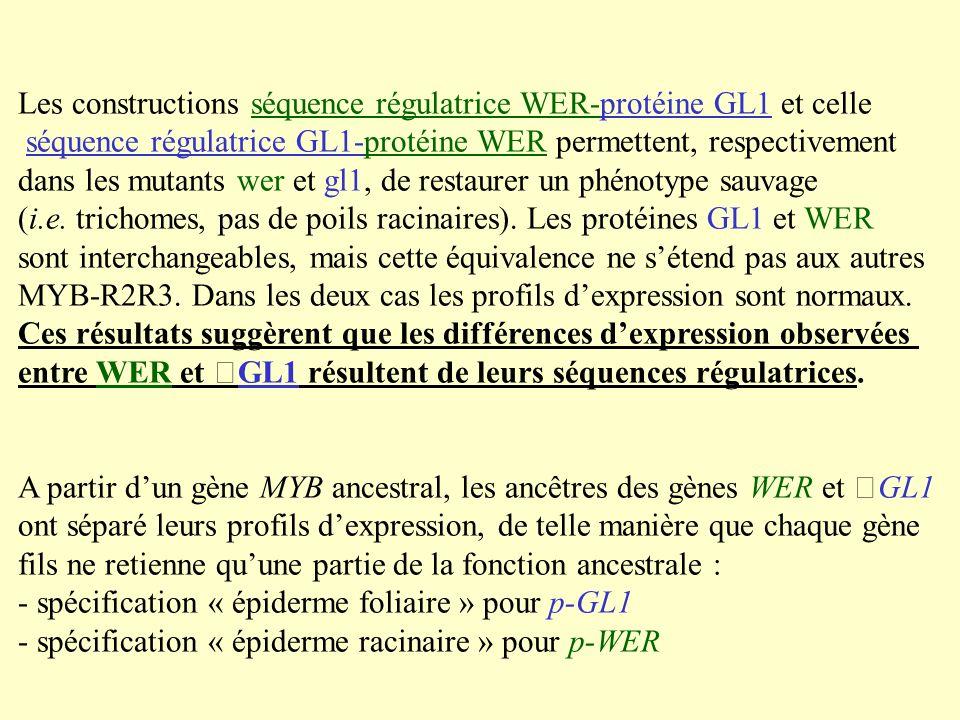 Les constructions séquence régulatrice WER-protéine GL1 et celle