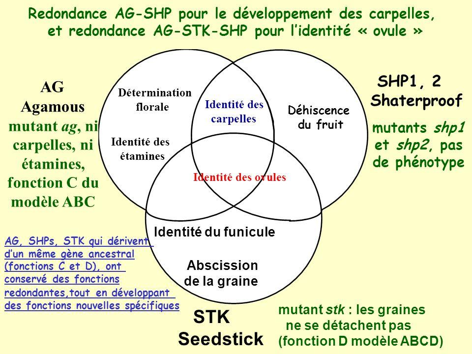 STK Seedstick AG Agamous SHP1, 2 Shaterproof mutant ag, ni