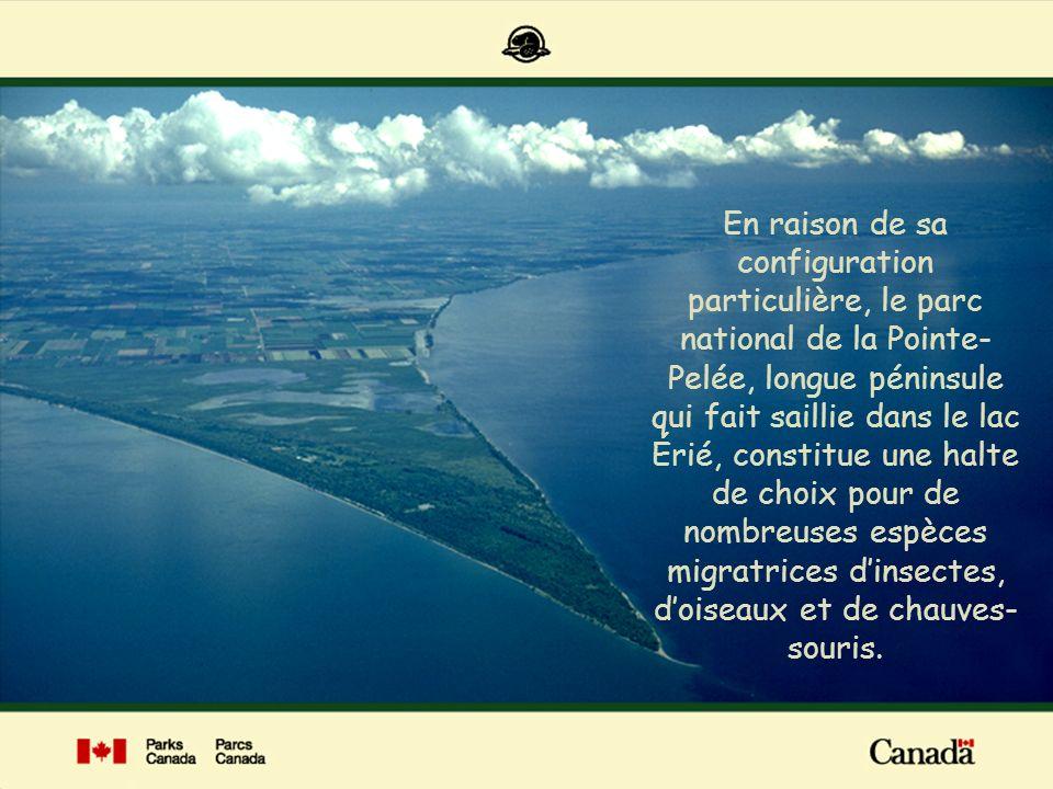 En raison de sa configuration particulière, le parc national de la Pointe-Pelée, longue péninsule qui fait saillie dans le lac Érié, constitue une halte de choix pour de nombreuses espèces migratrices d'insectes, d'oiseaux et de chauves-souris.