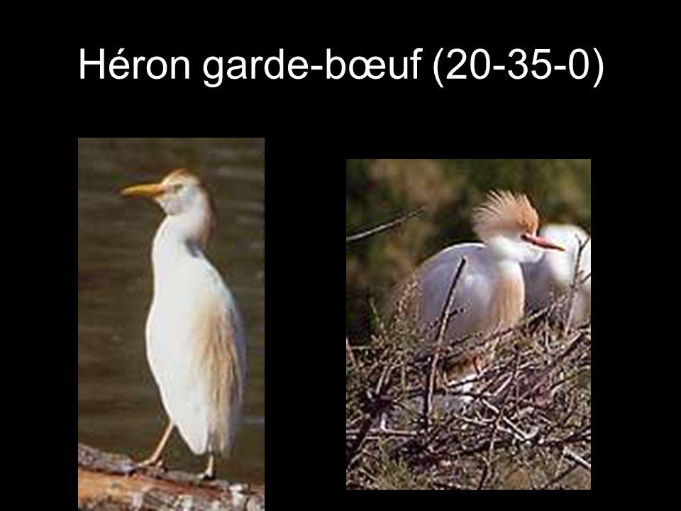 Héron garde-bœuf (20-35-0)