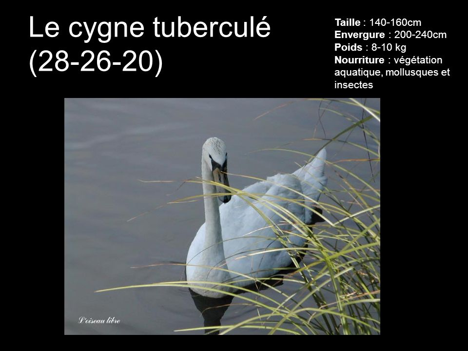 Le cygne tuberculé (28-26-20)