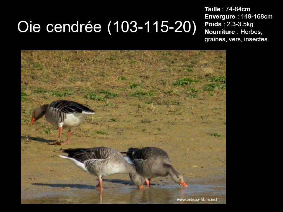 Taille : 74-84cm Envergure : 149-168cm Poids : 2. 3-3