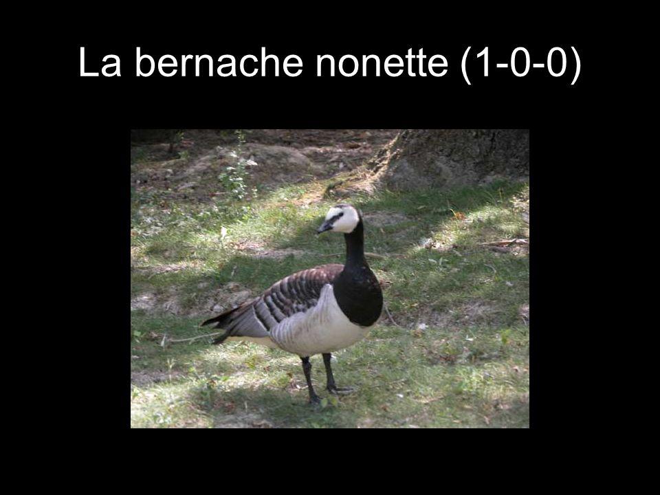La bernache nonette (1-0-0)