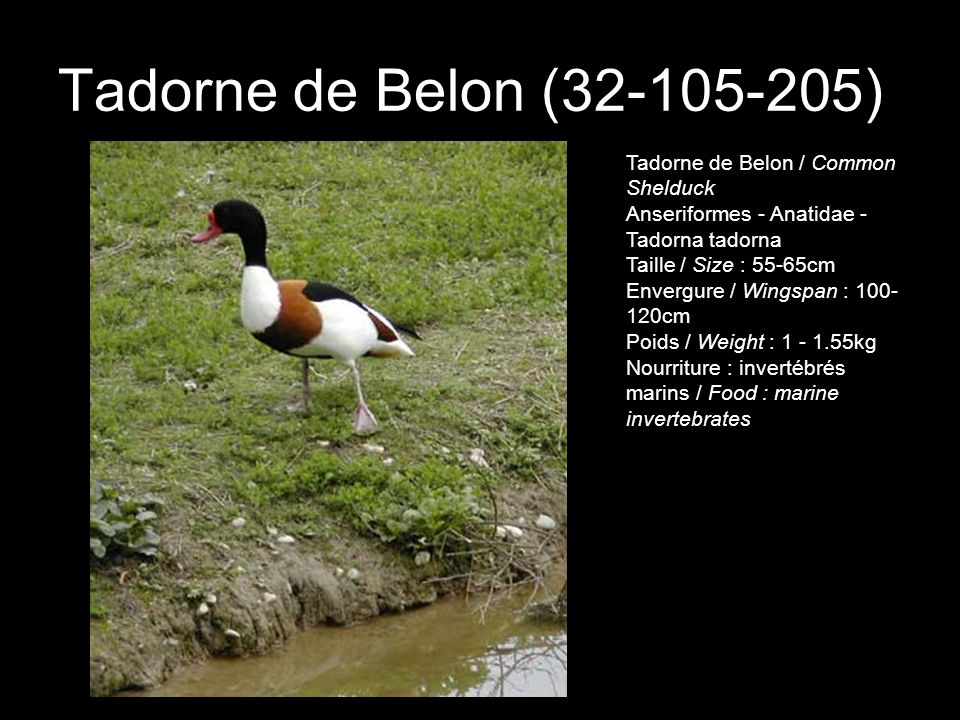 Tadorne de Belon (32-105-205)