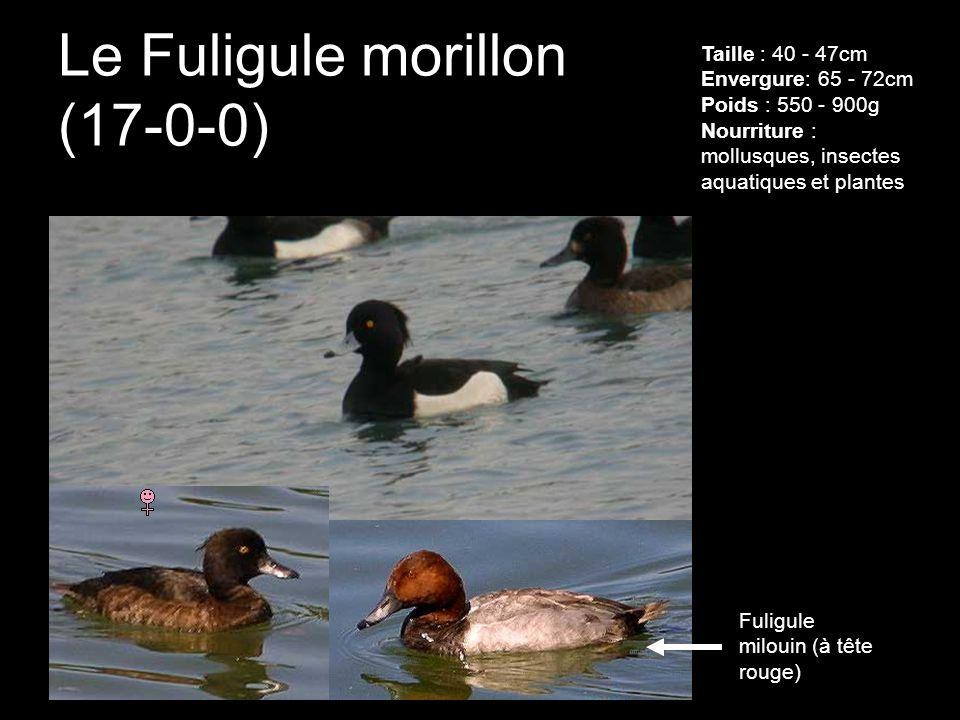 Le Fuligule morillon (17-0-0)