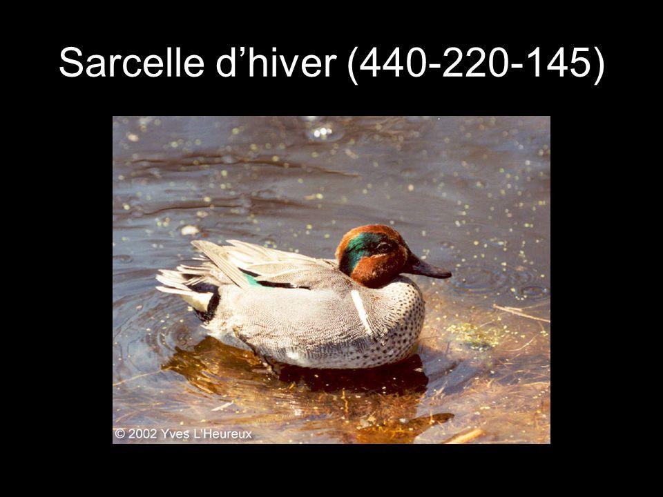 Sarcelle d'hiver (440-220-145)