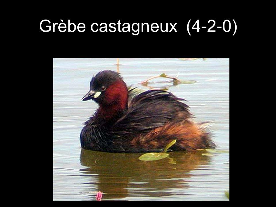Grèbe castagneux (4-2-0)