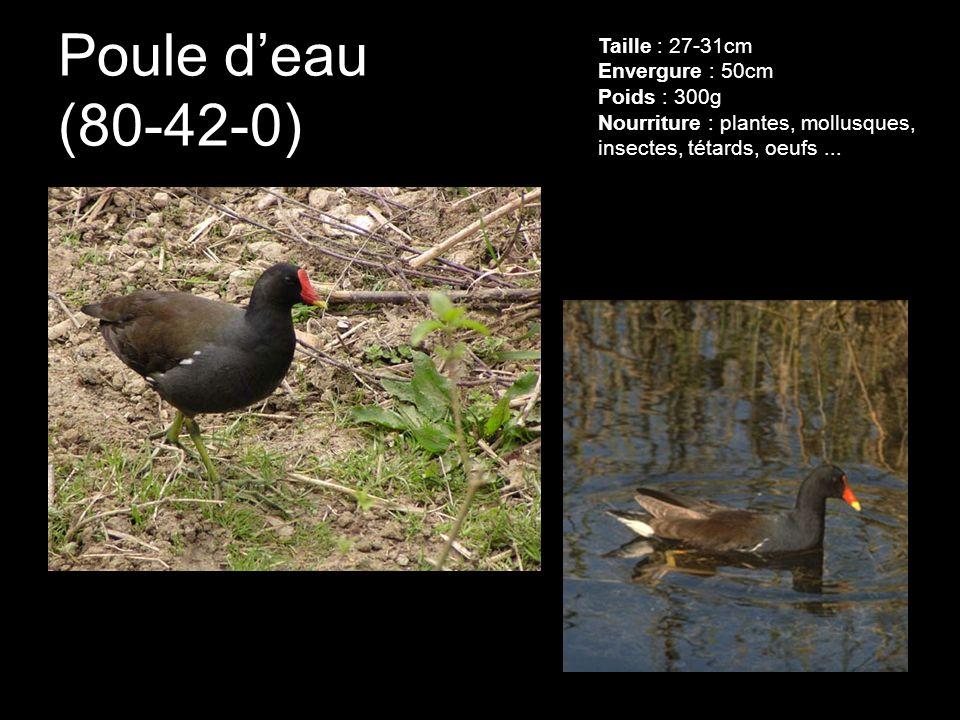 Poule d'eau (80-42-0) Taille : 27-31cm Envergure : 50cm Poids : 300g Nourriture : plantes, mollusques, insectes, tétards, oeufs ...