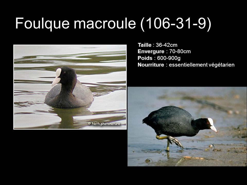Foulque macroule (106-31-9) Taille : 36-42cm Envergure : 70-80cm Poids : 600-900g Nourriture : essentiellement végétarien.