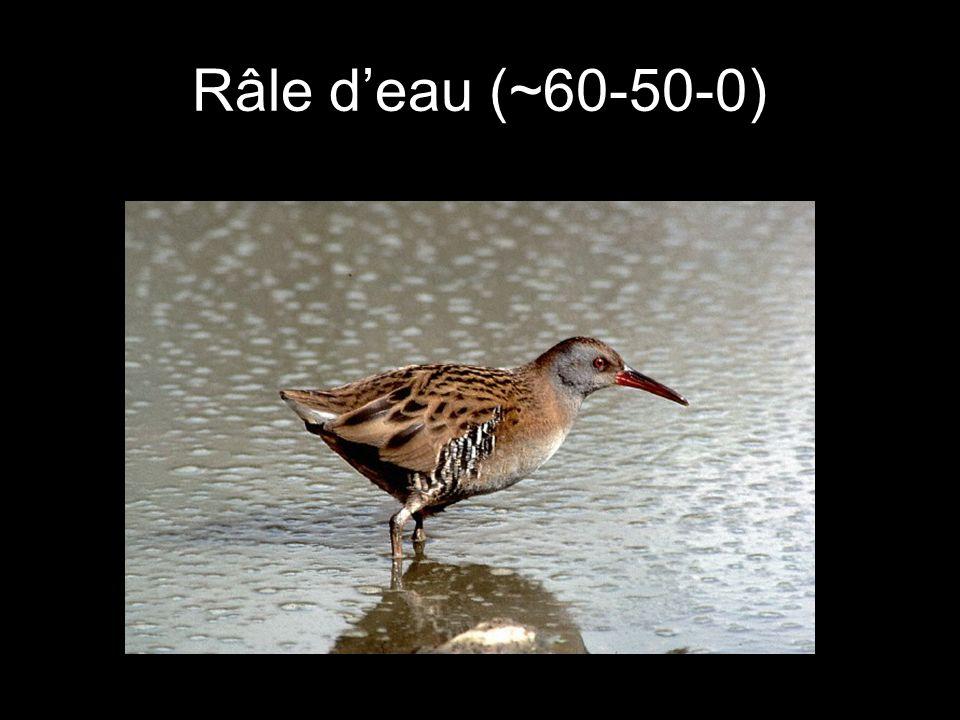 Râle d'eau (~60-50-0)