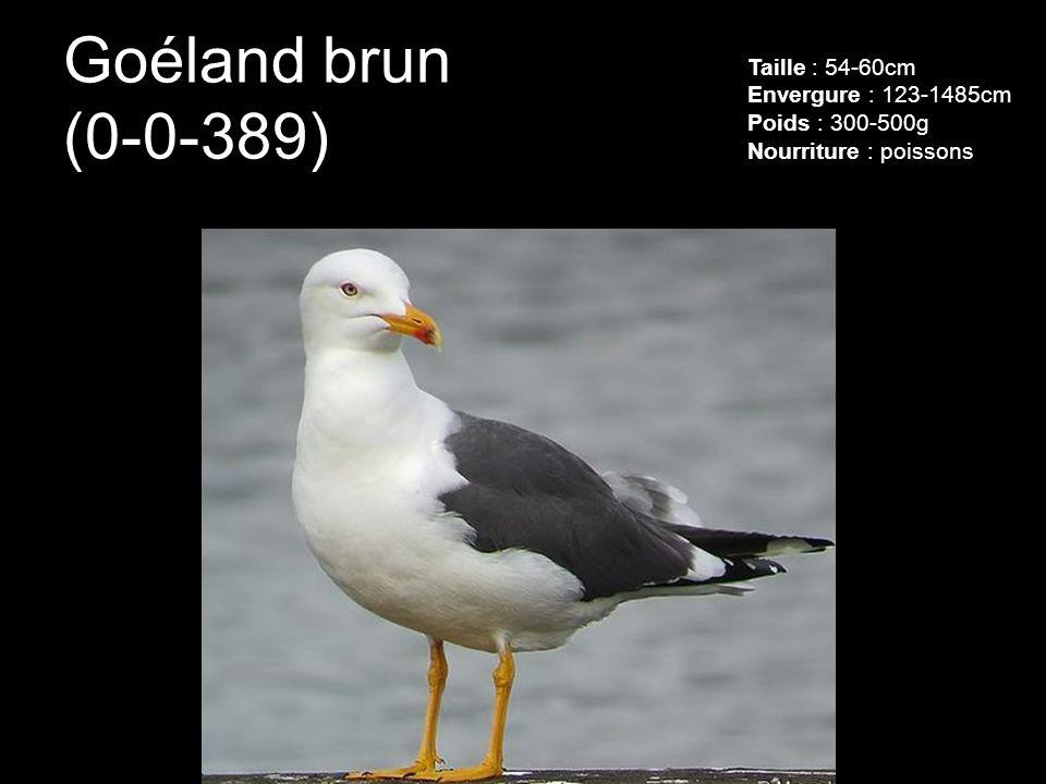 Goéland brun (0-0-389) Taille : 54-60cm Envergure : 123-1485cm Poids : 300-500g Nourriture : poissons.