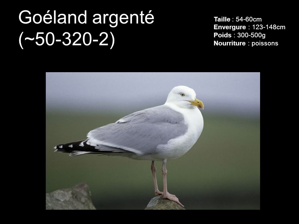 Goéland argenté (~50-320-2) Taille : 54-60cm Envergure : 123-148cm Poids : 300-500g Nourriture : poissons.