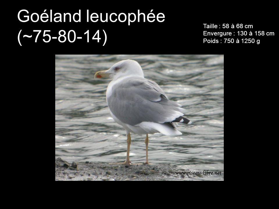 Goéland leucophée (~75-80-14)