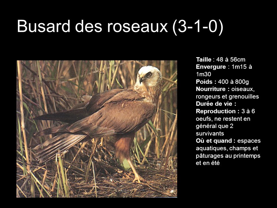 Busard des roseaux (3-1-0)