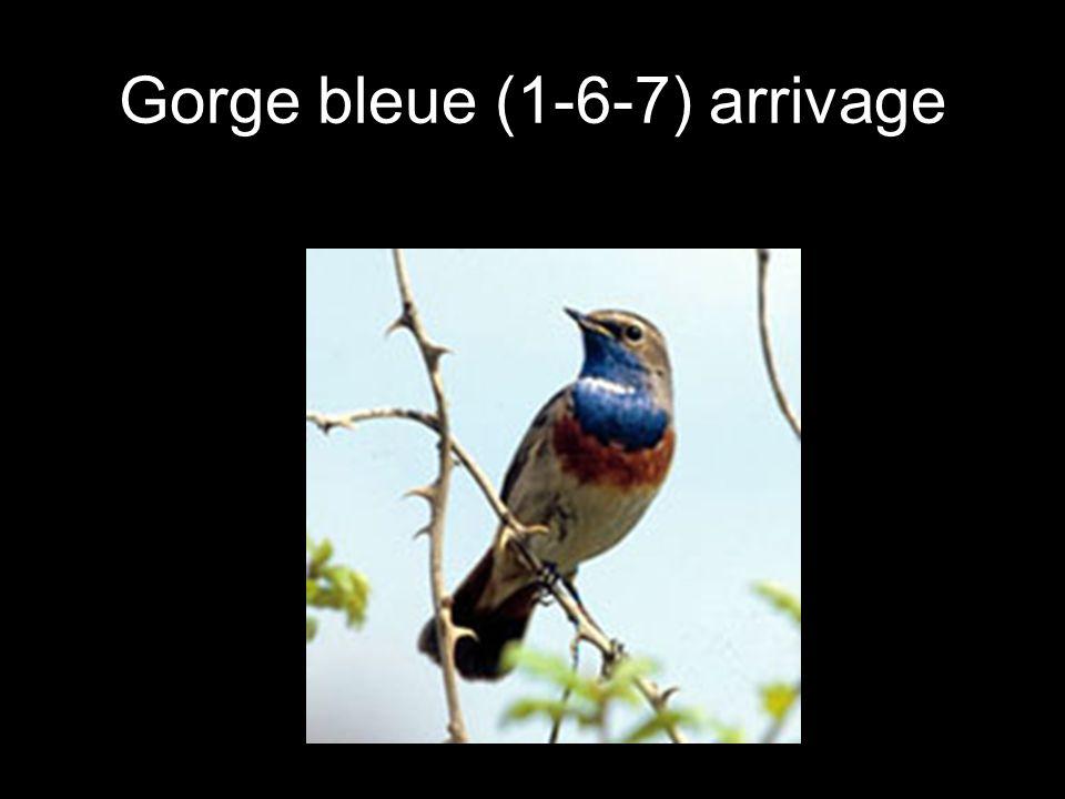 Gorge bleue (1-6-7) arrivage