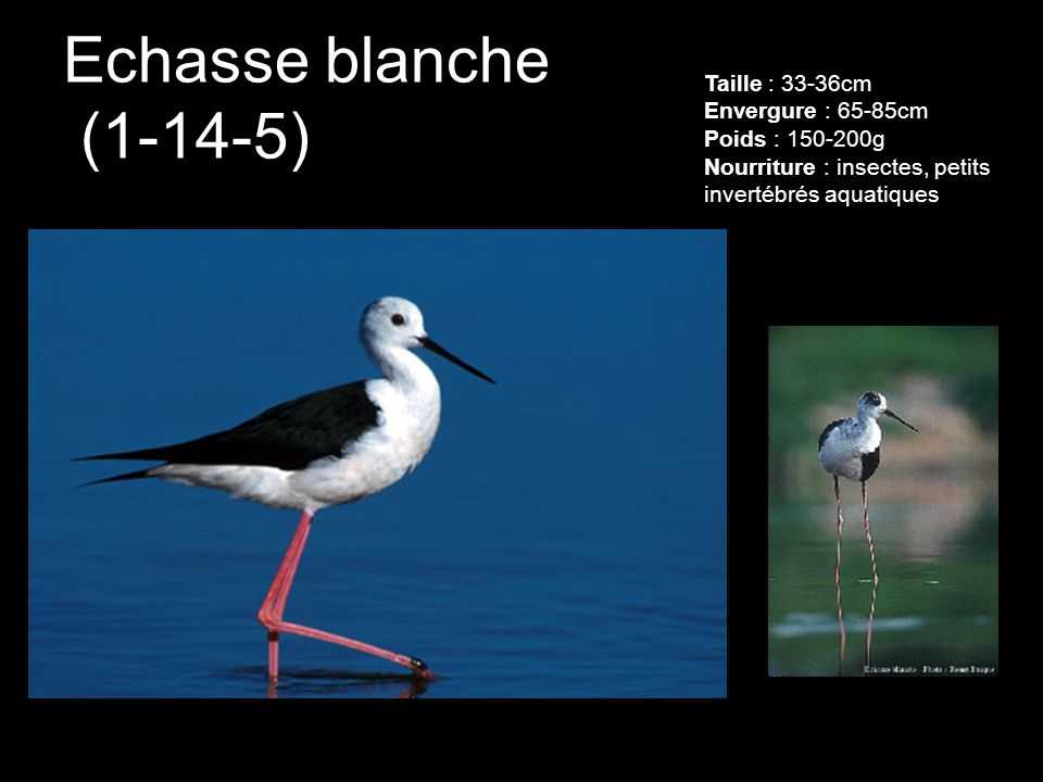 Echasse blanche (1-14-5) Taille : 33-36cm Envergure : 65-85cm Poids : 150-200g Nourriture : insectes, petits invertébrés aquatiques.