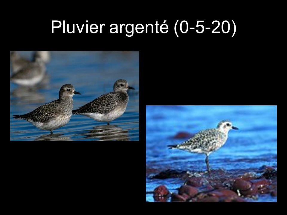 Pluvier argenté (0-5-20)