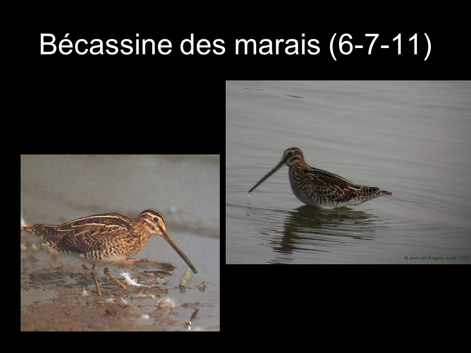 Bécassine des marais (6-7-11)