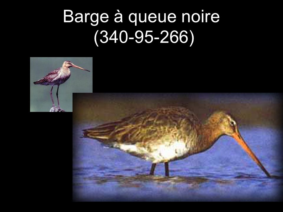 Barge à queue noire (340-95-266)