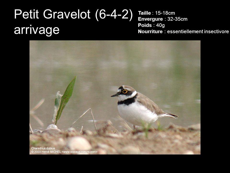 Petit Gravelot (6-4-2) arrivage