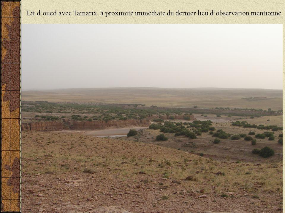 Lit d'oued avec Tamarix à proximité immédiate du dernier lieu d'observation mentionné