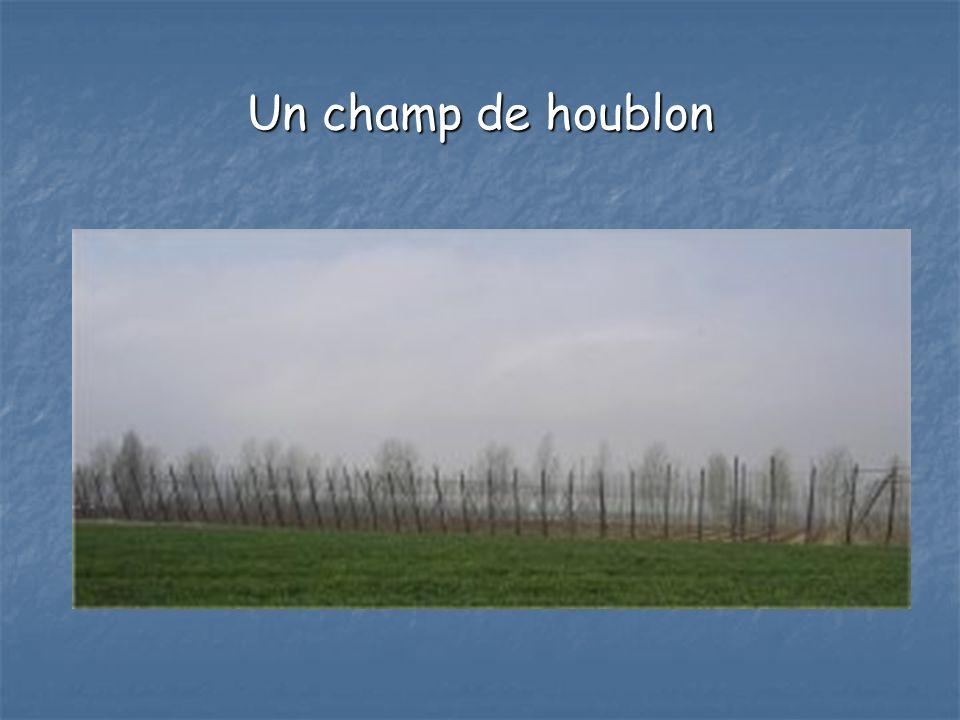 Un champ de houblon