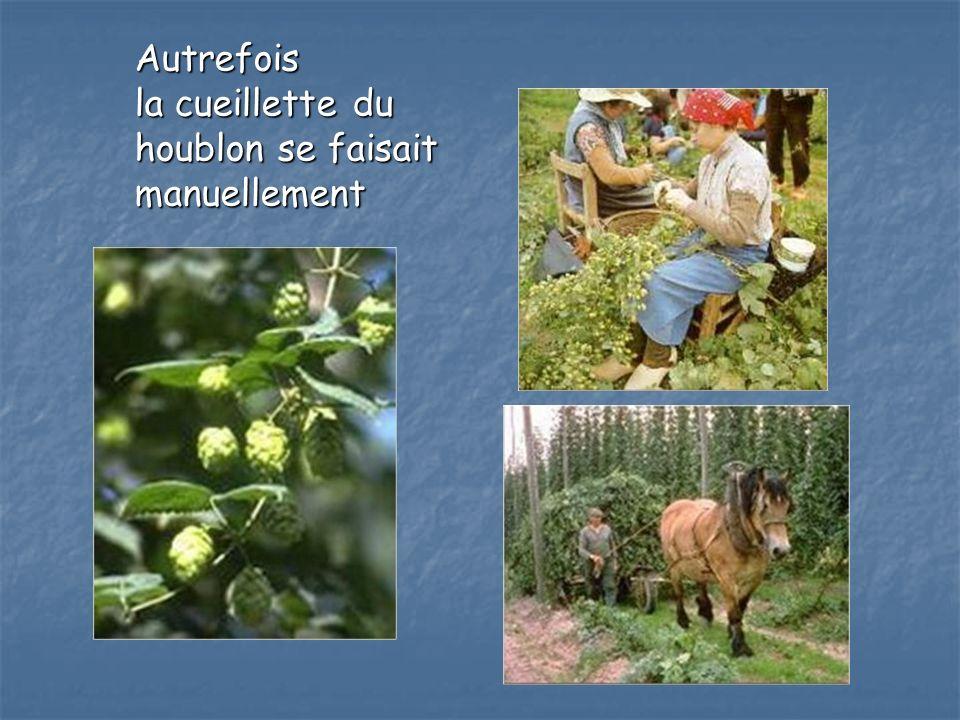 Autrefois la cueillette du houblon se faisait manuellement