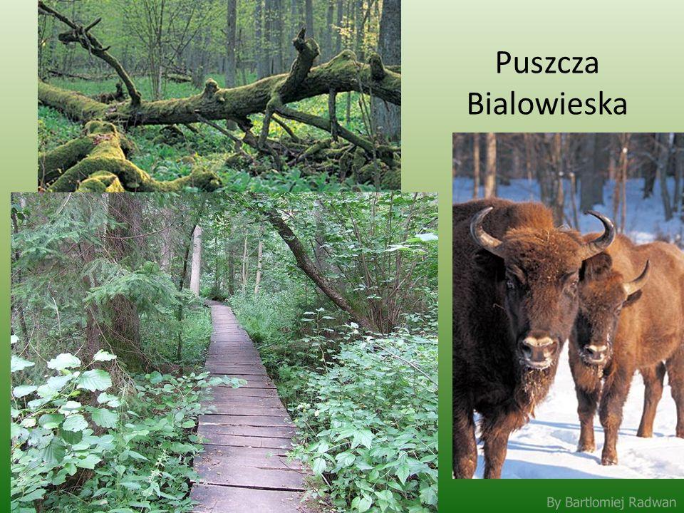 Puszcza Bialowieska