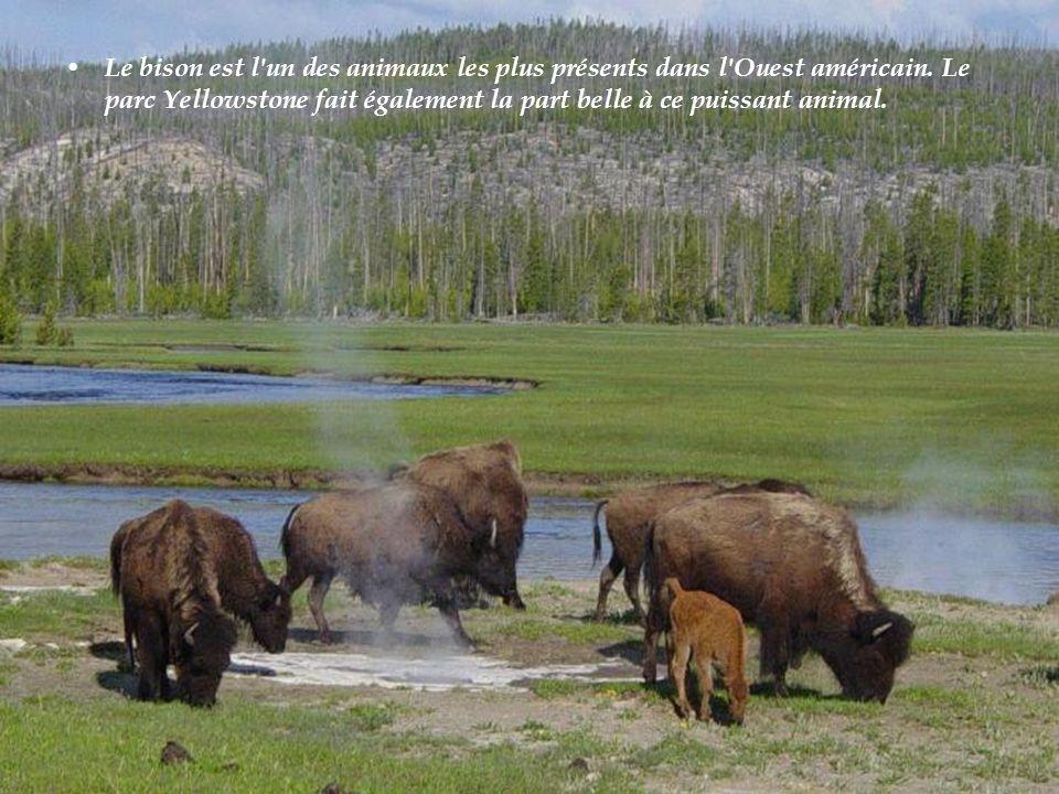 Le bison est l un des animaux les plus présents dans l Ouest américain