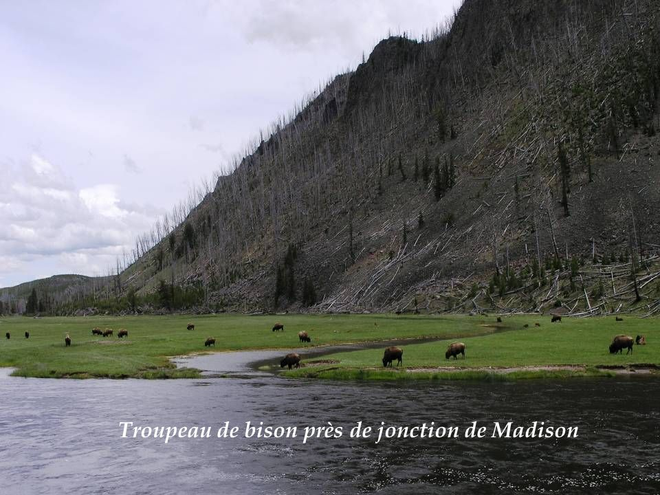 Troupeau de bison près de jonction de Madison