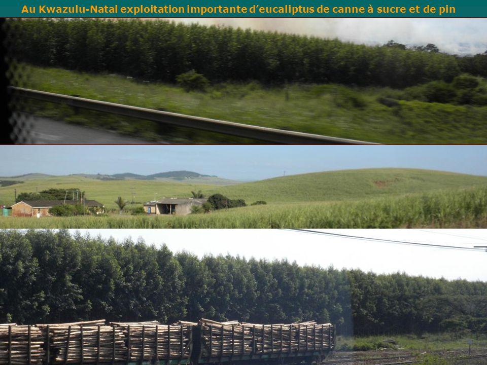 Au Kwazulu-Natal exploitation importante d'eucaliptus de canne à sucre et de pin