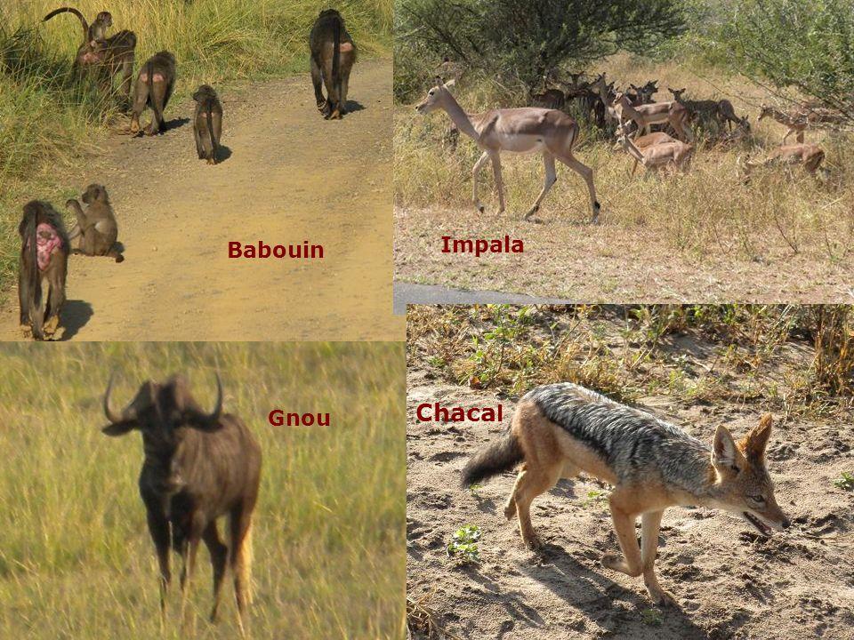 Babouin Impala Chacal Gnou