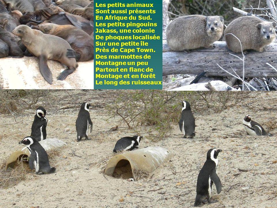 Les petits animaux Sont aussi présents. En Afrique du Sud. Les petits pingouins. Jakass, une colonie.