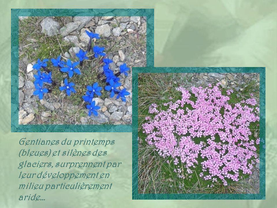 Gentianes du printemps (bleues) et silènes des glaciers, surprennent par leur développement en milieu particulièrement aride…