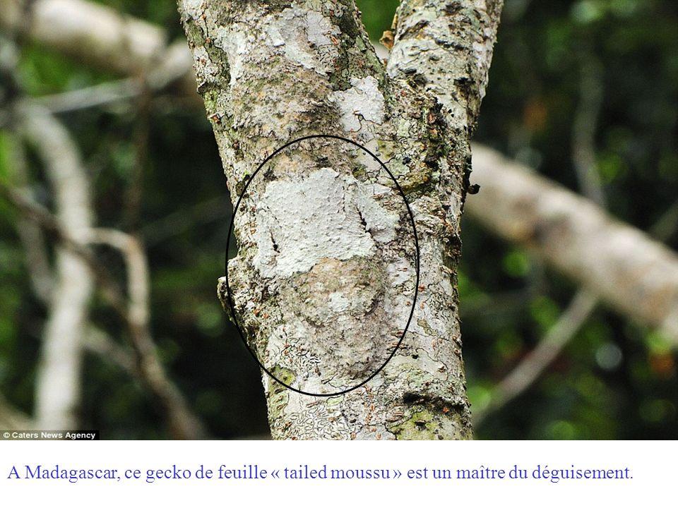 A Madagascar, ce gecko de feuille « tailed moussu » est un maître du déguisement.
