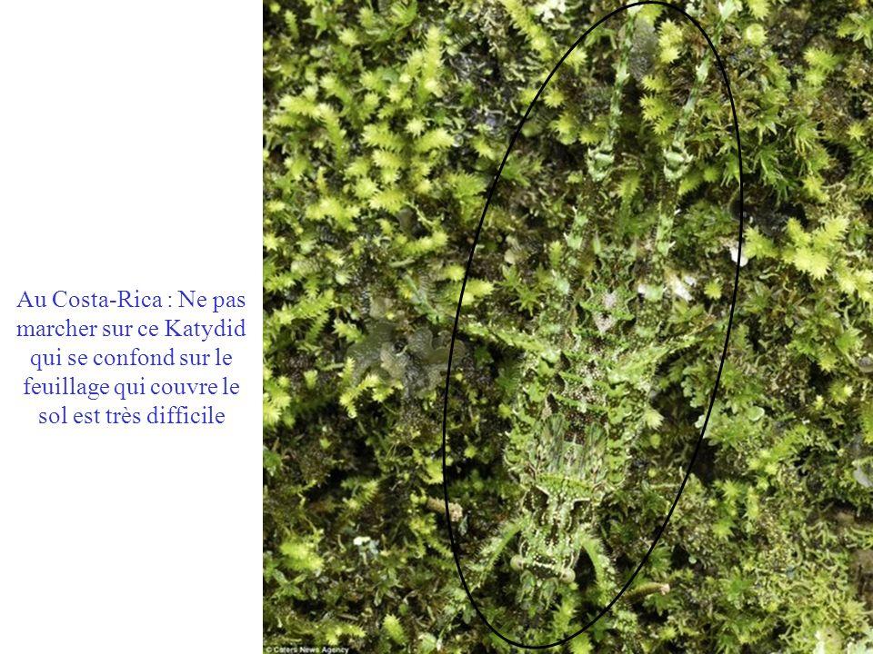 Au Costa-Rica : Ne pas marcher sur ce Katydid qui se confond sur le feuillage qui couvre le sol est très difficile