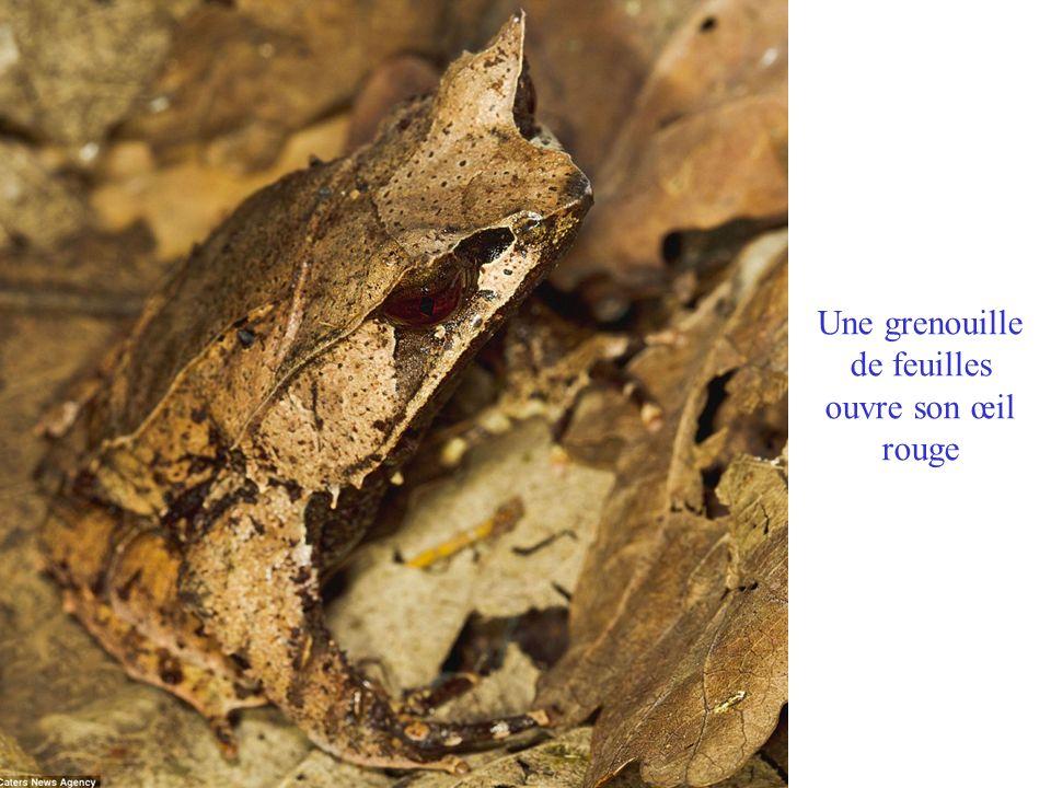 Une grenouille de feuilles ouvre son œil rouge