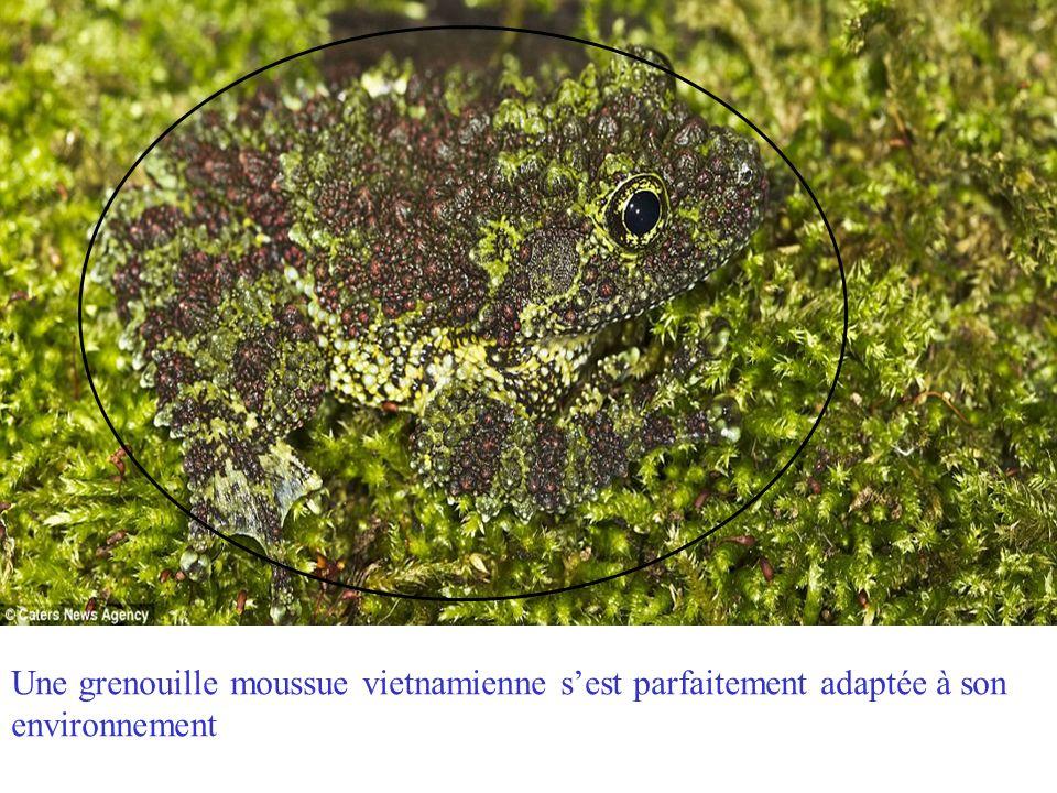 Une grenouille moussue vietnamienne s'est parfaitement adaptée à son environnement
