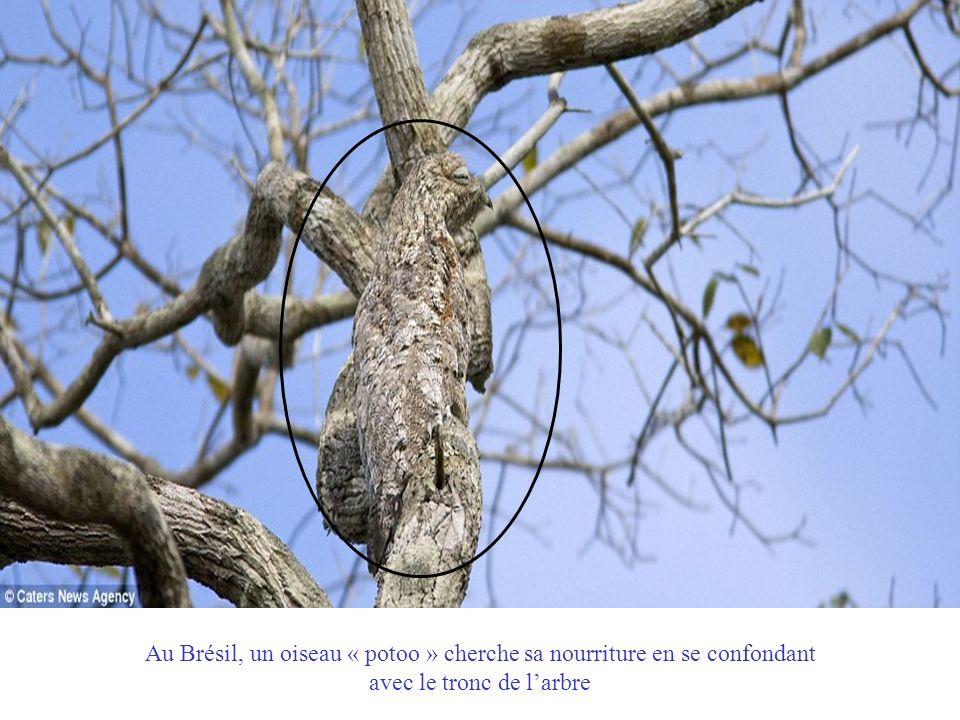 Au Brésil, un oiseau « potoo » cherche sa nourriture en se confondant avec le tronc de l'arbre
