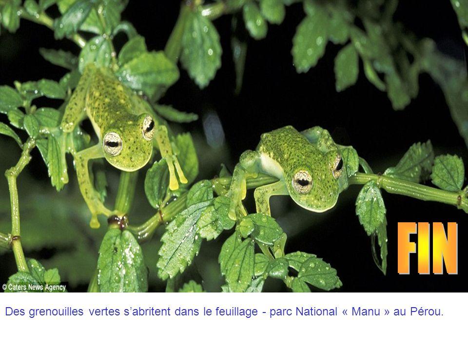 FIN Des grenouilles vertes s'abritent dans le feuillage - parc National « Manu » au Pérou.